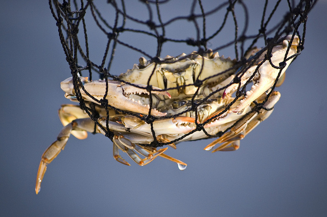 blue crabs net alicia porter CC by 2.0