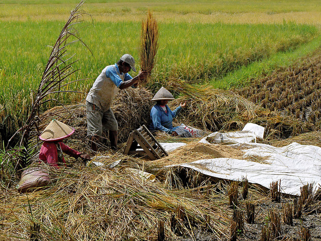 harvesting rice crop nutrient climate change malnutrition decline health food